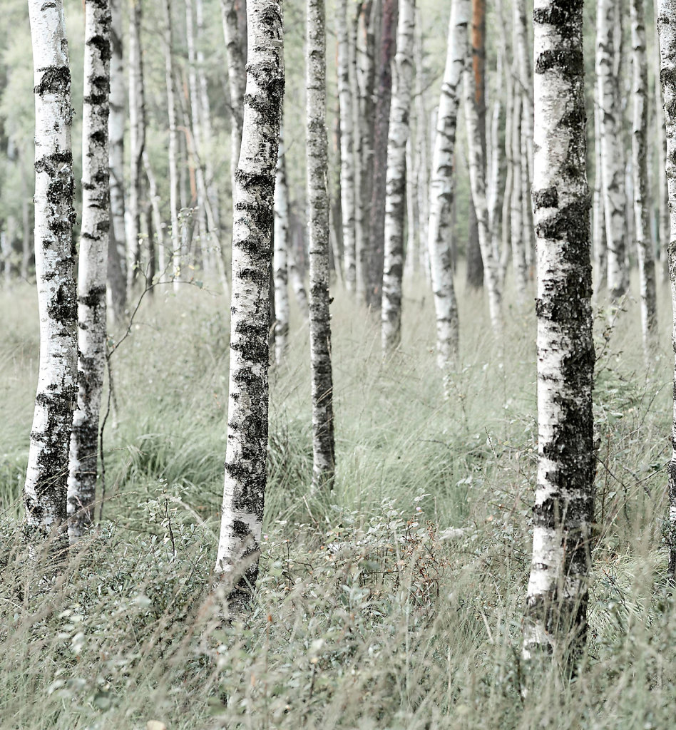 Birch Trees, Sweden
